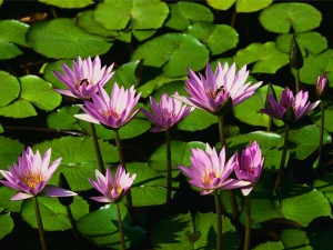 Water lilies 300x225 Learning Mandarin Chinese Part 5: Pinyin